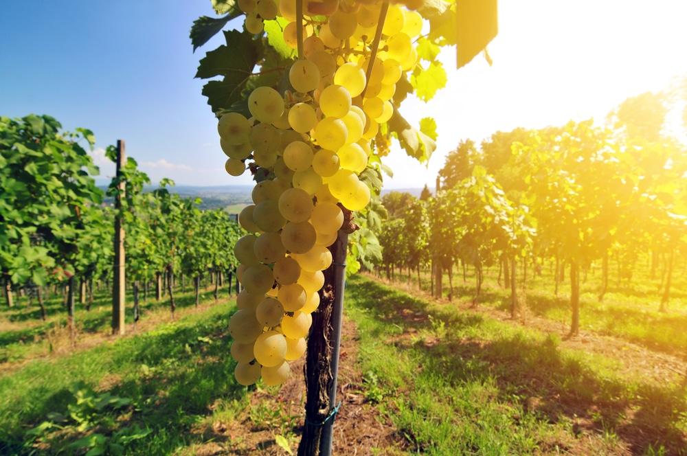 druvor för torrt vitt vin
