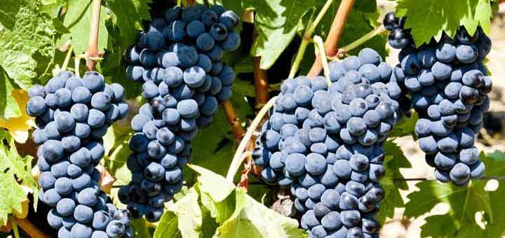 druvor rött vin