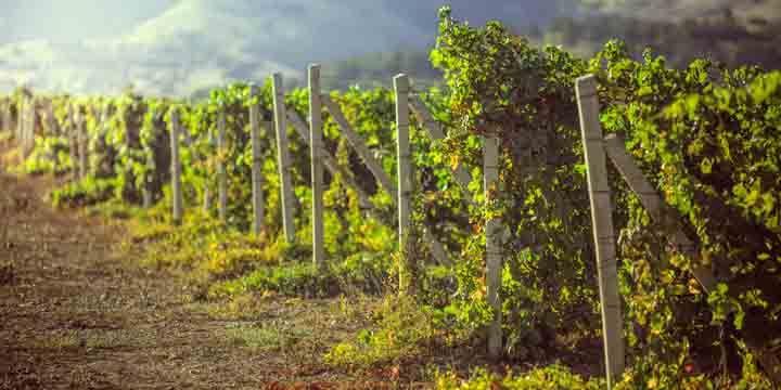 vineyards in Crimea.