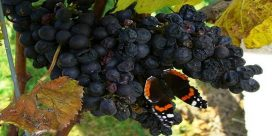 Fjärilar trivs i vingårdens miljö