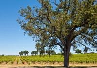 Bild från vingård i Kalifornien