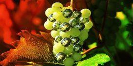 Steiner och det ekologiska vinet