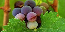 """Franska vinbönder ifrågasätter """"ekovänligt"""""""
