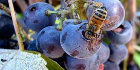 GMO ett allt större hot mot vinindustrin