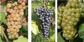 Provsmaka och lär känna 3 ovanliga druvor