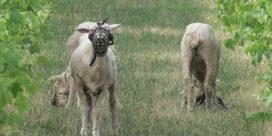 När fåren arbetar på vingården…