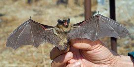 Fladdermöss hjälper ekologisk vinodling