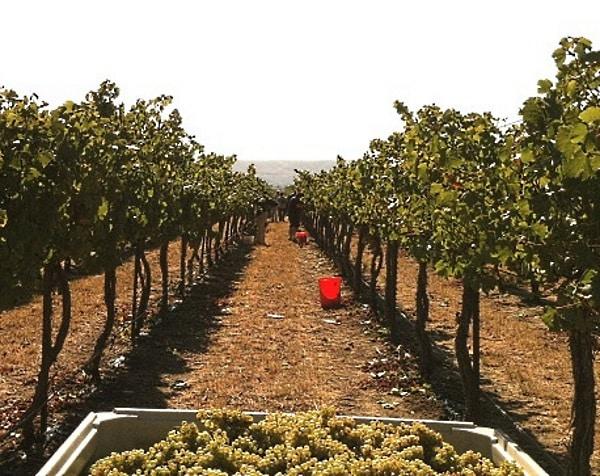 en utblick över vingården