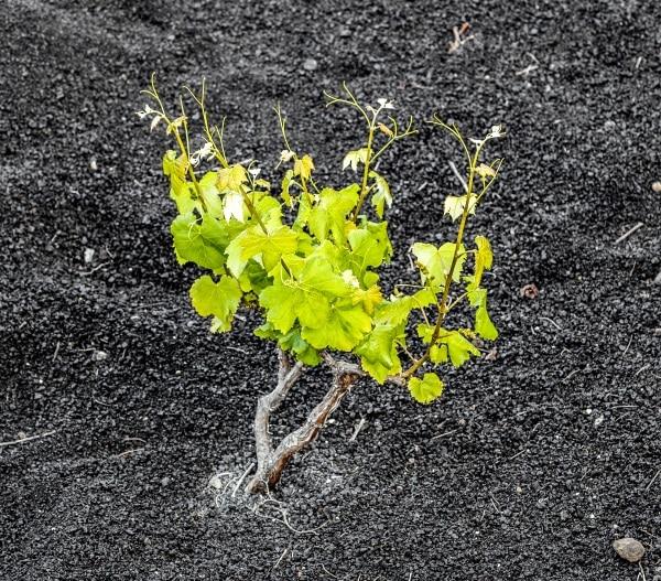 liten vinplanta i vulkanisk jord