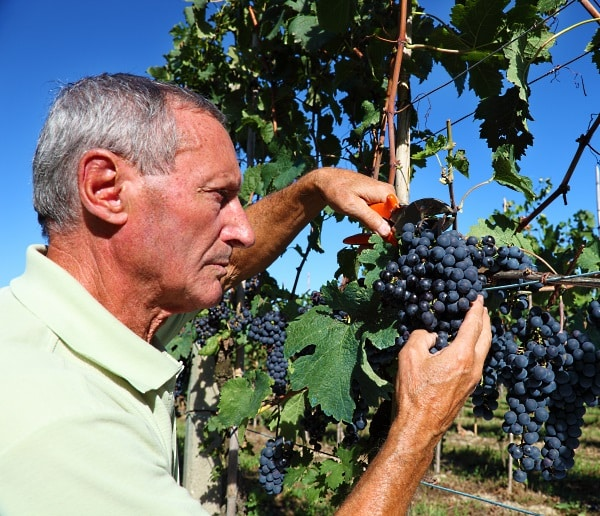 man i vingård som inspekterar druvor