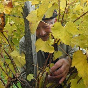 äldre an som jobbar i vingården