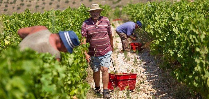 Dalmatien: arbetare på vingården