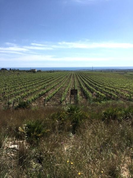 Sicilien: Cantine Settesoli vingårdar