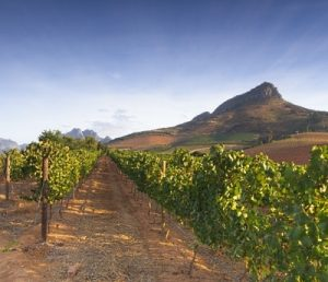 Stellenboschs vingårdar