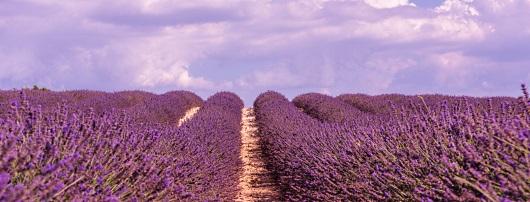 Provenve: lavendelfält