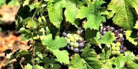 Beaujolais – både kvantitet och kvalitet!
