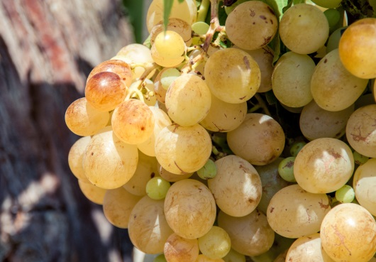 Jura: chadonnay druvor