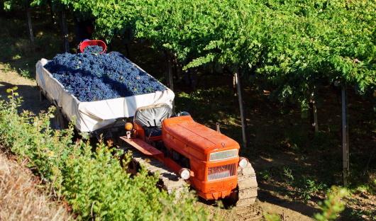 Abruzzo - en vingård