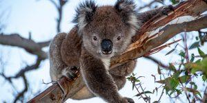 Sangiovese - en liten koala björnn