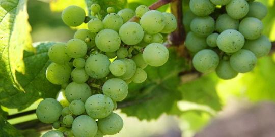 Vinho Verde - gröna druvor
