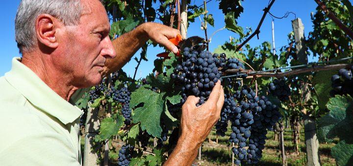 Pinot Moir - i vingården tittar på druvor