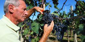 Pinot Noir – en trendig och populär druva
