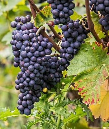 Pinot Noir - druvor i klase