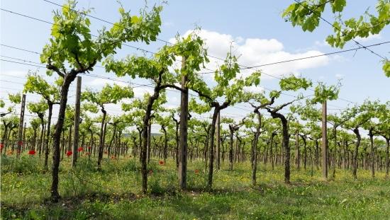 valpolicella-cristiana-bettili-wines