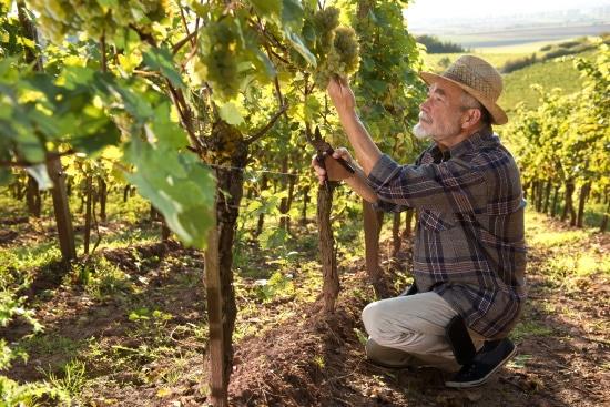 vingården - en vinodlare plockar druvor