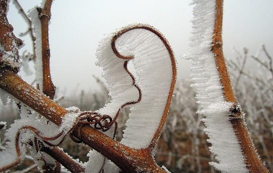 vingården - frost på stockar