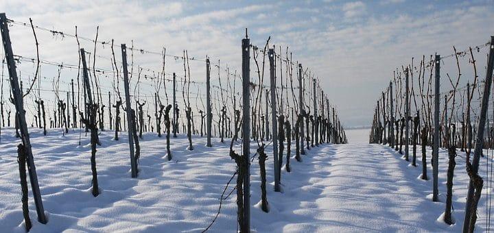 Vingården - vintertid