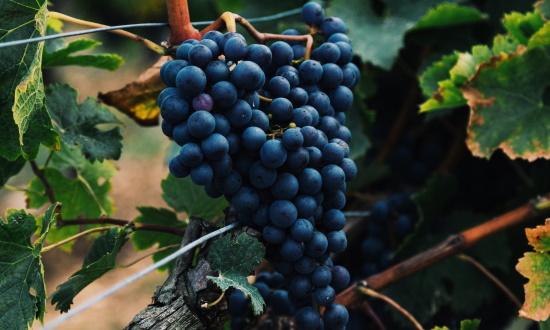 tanniner - en klase röda druvor