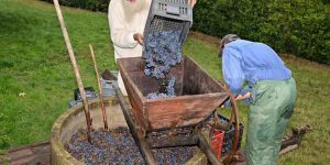 Manual harvest of grapes in tuscany