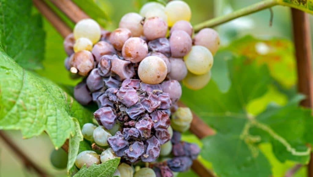 Furmint - ädelrötade druvor