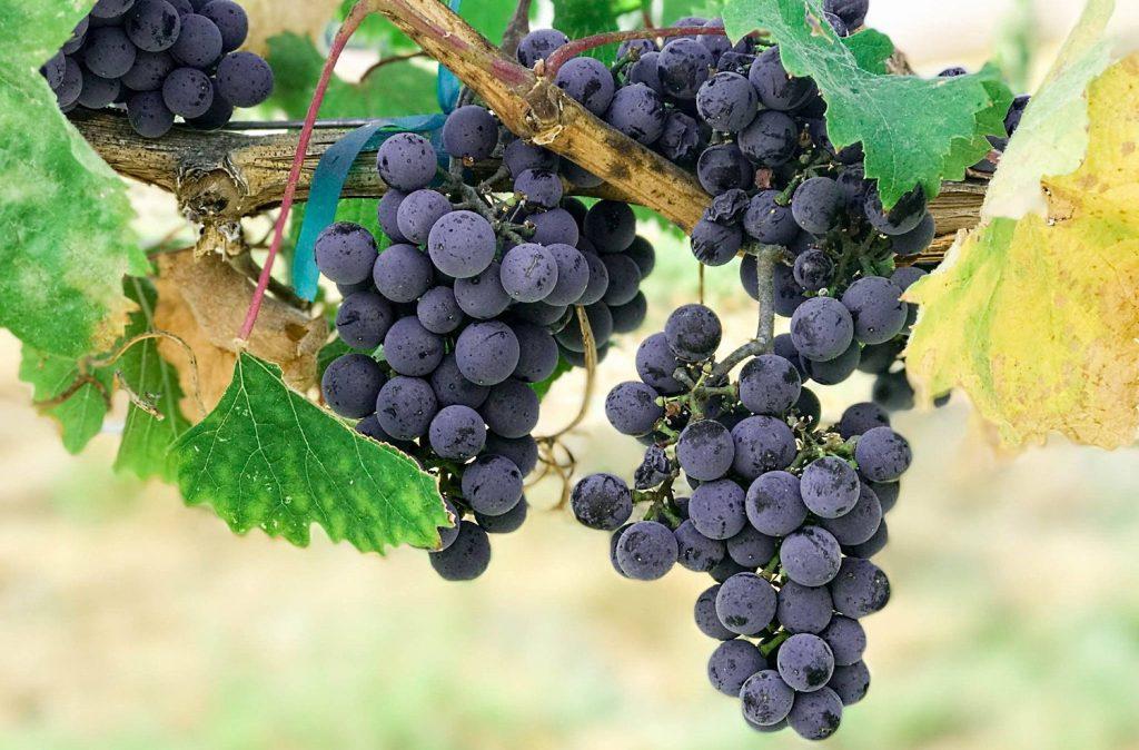 Vino Nobile - San Claudiop II och mörka druvor