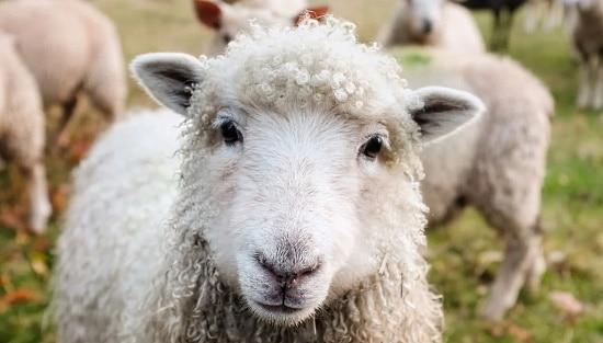Pecorino - ett får