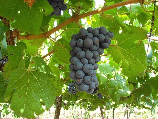 Bordeaux-vin Chateau Mayne Lalande - blå druvor i vingården