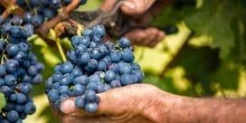 Cabernet Sauvignon – en klassisk världsdruva