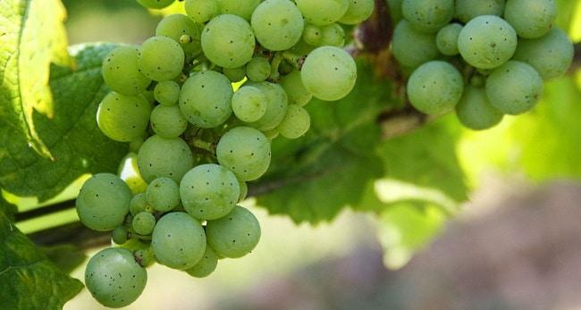 Riojas vita viner - gröna druvor