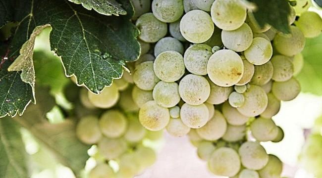 Toscana-en-grön-druvklase