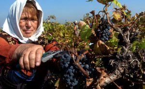 Vinlandet Bulgarien - vingårdsarbetare klipper klase