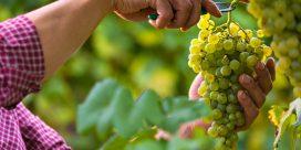 Fiano – ett trendigt vin med finess!