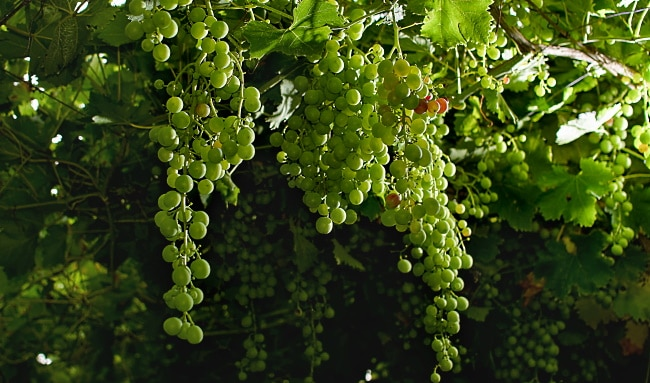 Sällsynta-druvor-gröna-små-druvor-i-klase