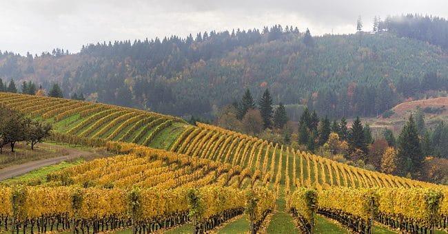 USAs viner - by över vingård med sluttningar