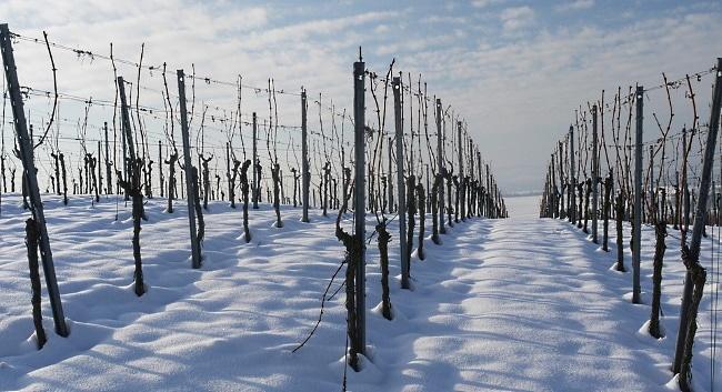 USAs viner - snö i vingården