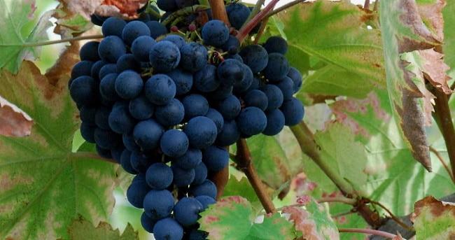 mat-och-vin-från-tsocana - blå-druvor