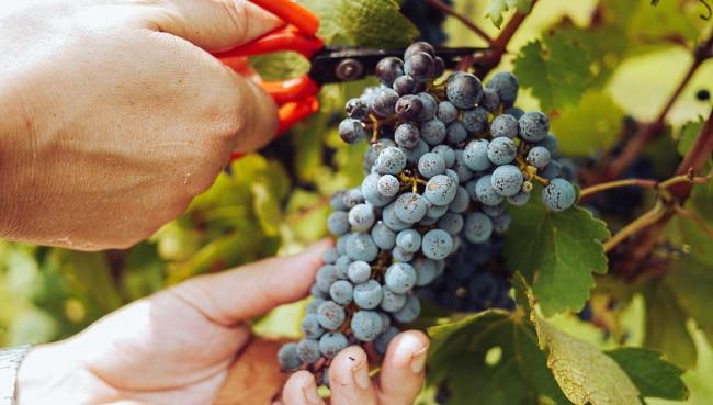 tanniner - vinmakare klipper en klase