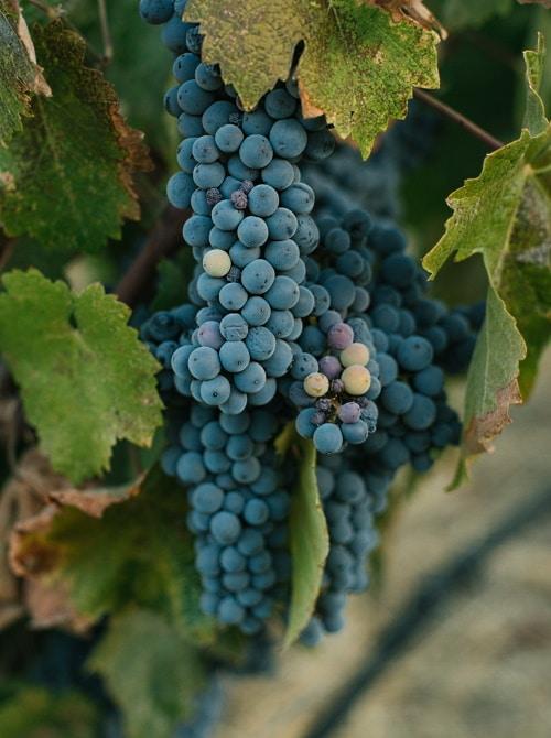 vinlandet-chile-klase-röda-druvor