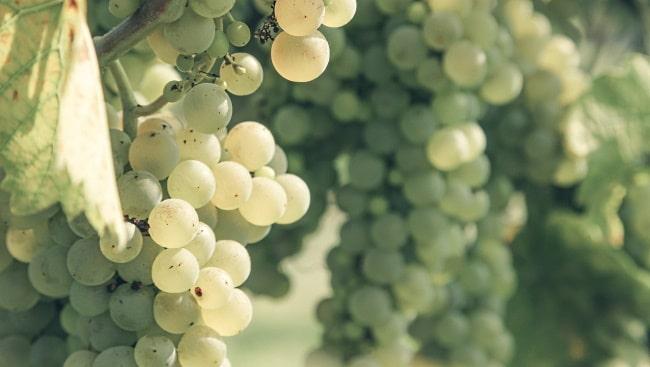 Sauvignon Blanc Te Mata Winery - druvor