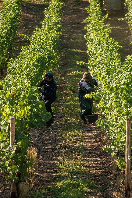 Sauvignon Blanc Te mata winery - vingården
